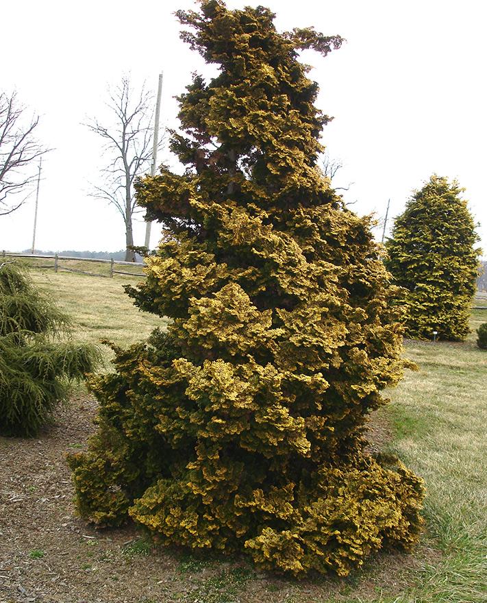 Twisted Honoki Cypress