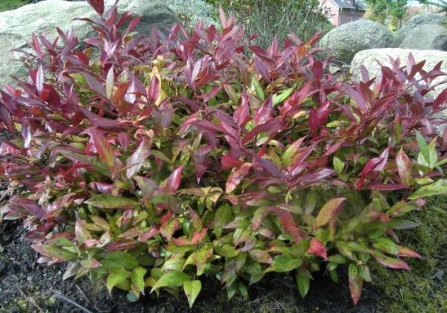 Leucothoe axillaris, Coast Leucothoe, Dog-hobble - Plant Database ...
