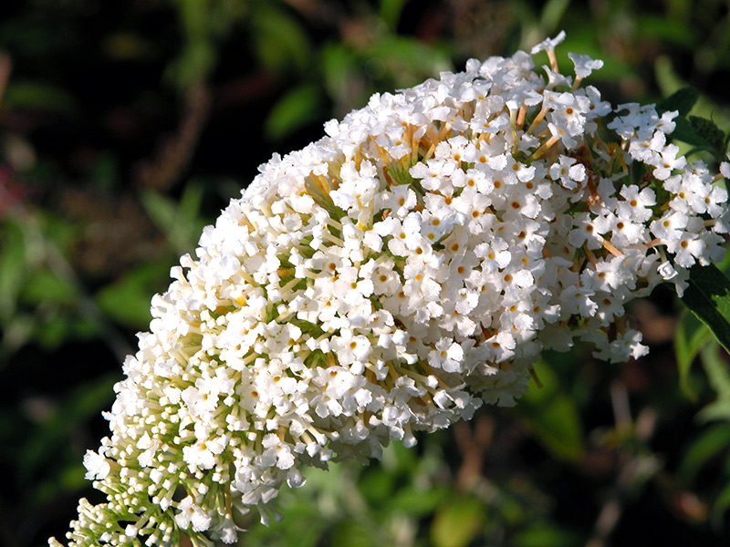 White flowering shrubs 28 images unrecognized plants for White flowering bush