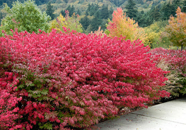 Dwarf burning bush for No maintenance flowering shrubs