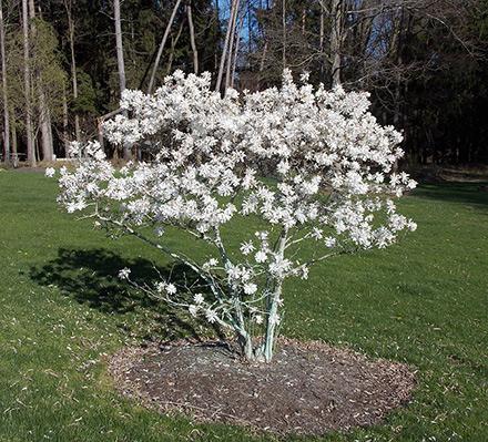 royal star magnolia. Black Bedroom Furniture Sets. Home Design Ideas