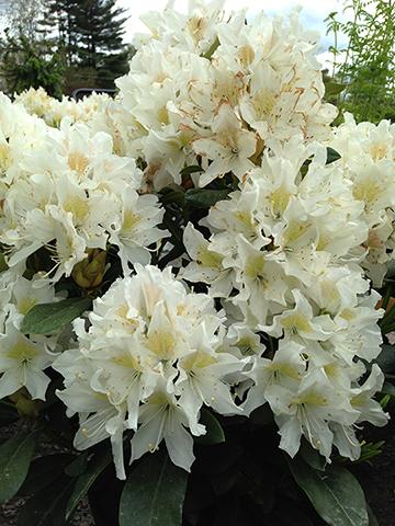 cunningham 39 s white rhododendron. Black Bedroom Furniture Sets. Home Design Ideas