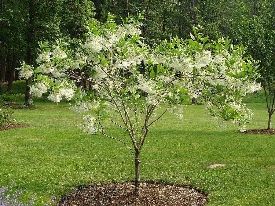 White fringe tree for Short trees
