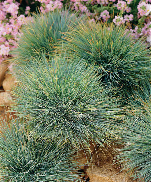 Blue fescue grass for Blue ornamental grass varieties