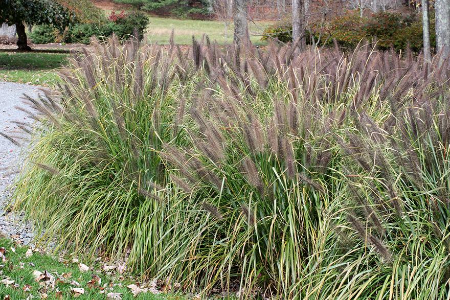 Black flowering fountain grass for Dark ornamental grasses