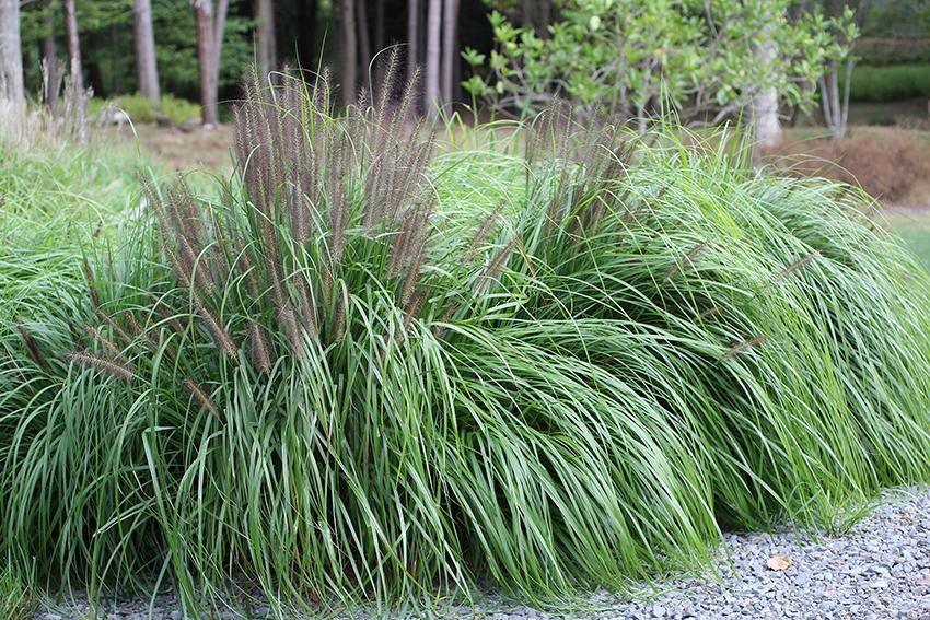 Black flowering fountain grass for Ornamental fountain grass