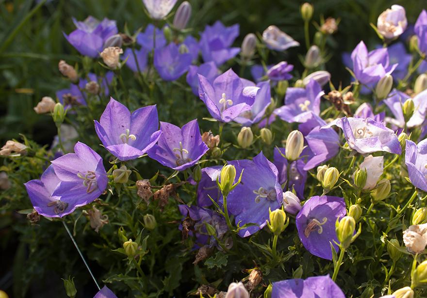 Blue Clips Bell Flower