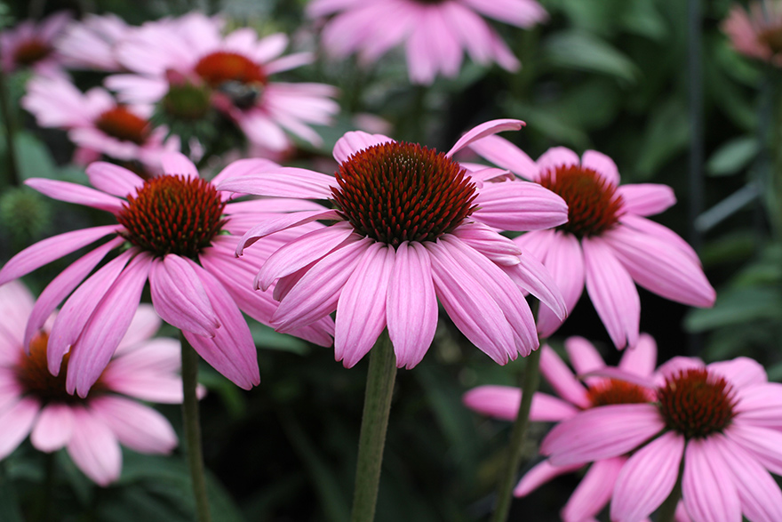 Deer Resistant Perennials For Shade
