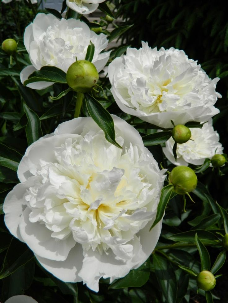 Deer Resistant Ground Cover Perennials: Peony 'Duchesse De Nemours