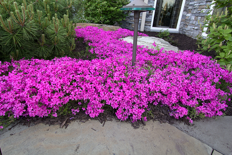 Home fire 39 s creeping phlox for Perennial ground cover with pink flowers